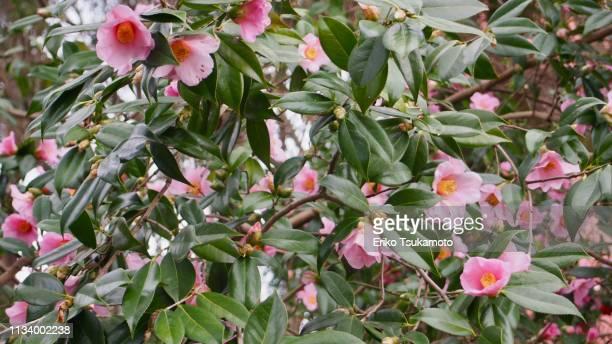 Camellia hybrid 'Izumo-kaori'
