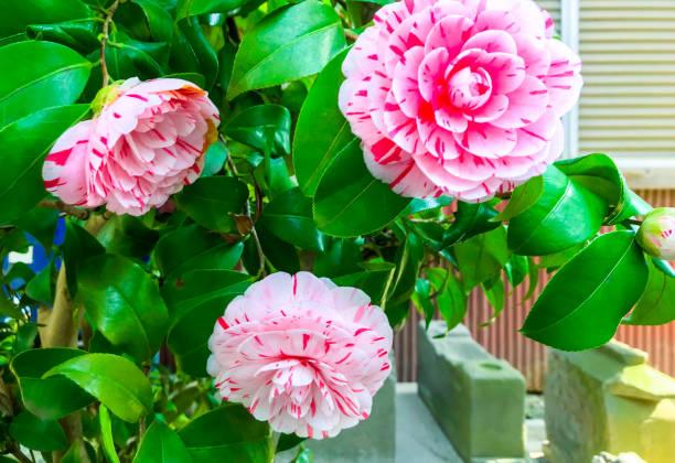 Camellia in the spring