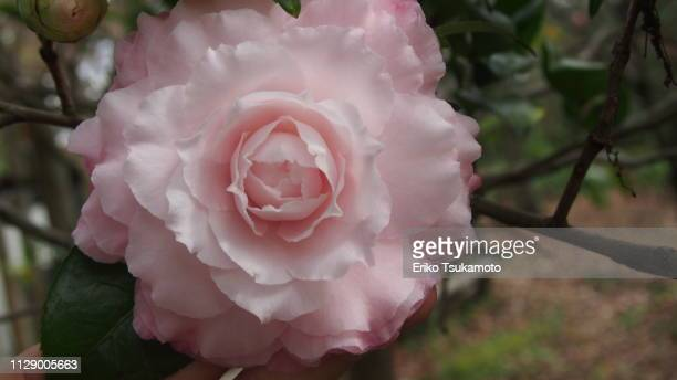 Camellia  'Jerry Donnan'