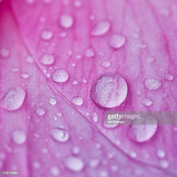 Camellia petal