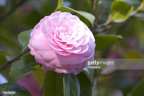 camellia - kanto region - fotografias e filmes do acervo