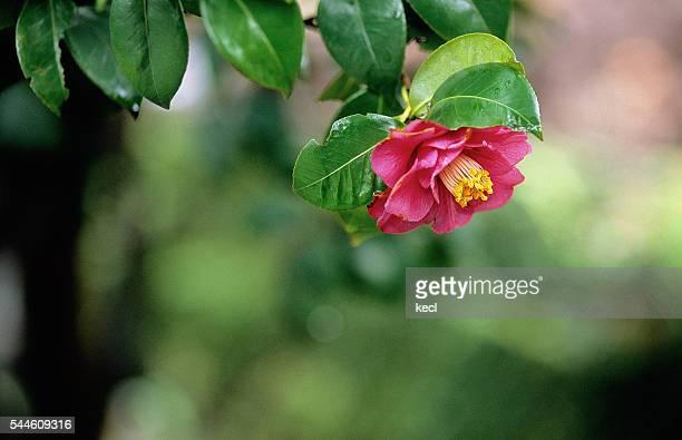 camellia - camellia sinensis stock photos and pictures
