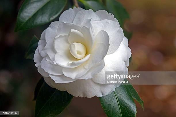 Camellia (disambiguation)