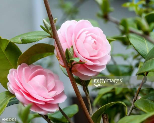 camellia - mois de mars photos et images de collection