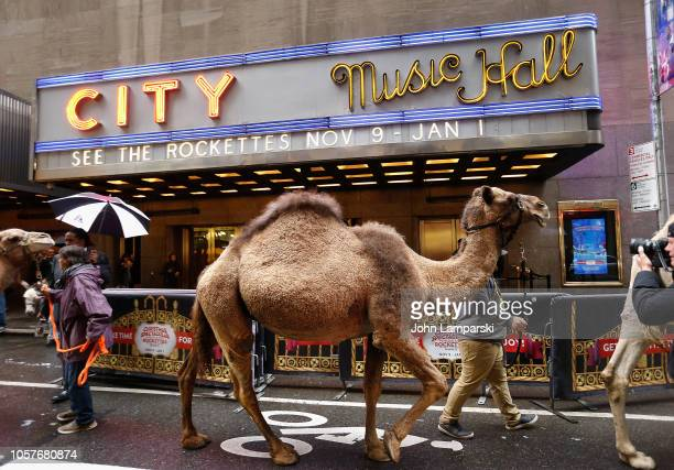 Camels are escorted before Cardinal Timothy Dolan blessing of the animals from The Christmas Spectacular's Living Nativity scene at Radio City Music...