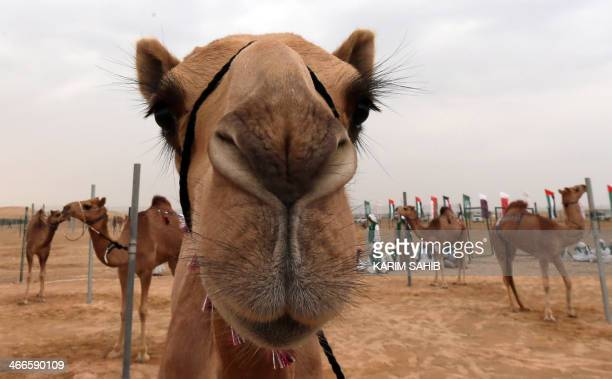 Camels are harnessed to posts before a race during the Sheikh Sultan Bin Zayed alNahyan camel festival held at the Shweihan racecourse in AlAin in...