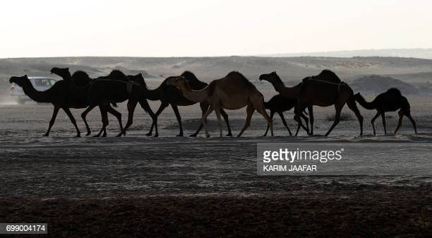 Camels are seen in a desert area on the Qatari side of the Abu Samrah border crossing between Saudi Arabia and Qatar on June 21 2017 Around 12000...