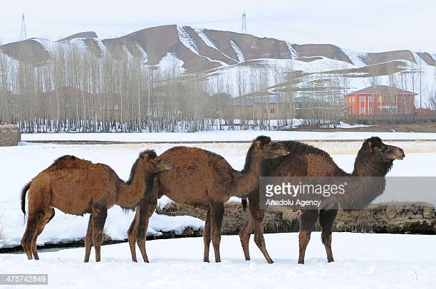 Camels are trained for camel wrestling in a farm in Van Turkey on February 22 2014 Camels are the center of interest by photographers and citizens...