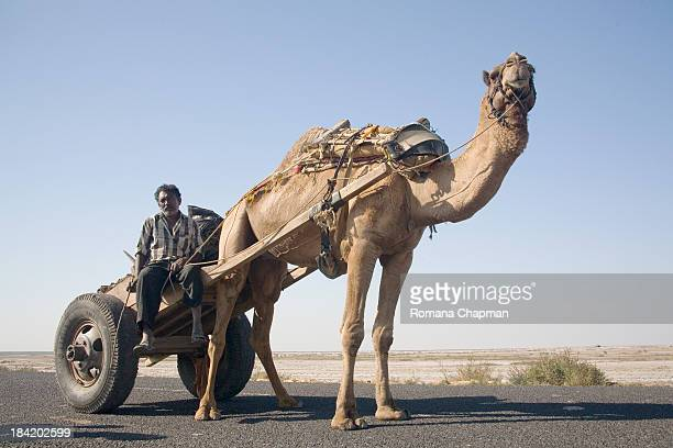 Camels are very strong animals. They are often used for pulling the heaviest of materials for construction sites in parts of the world where vehicles...