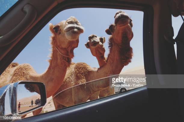 camels at beach seen through car window against sky - oman fotografías e imágenes de stock