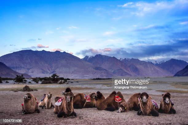 camels at nubra valley, leh ladakh ,  india. - paisajes de india fotografías e imágenes de stock