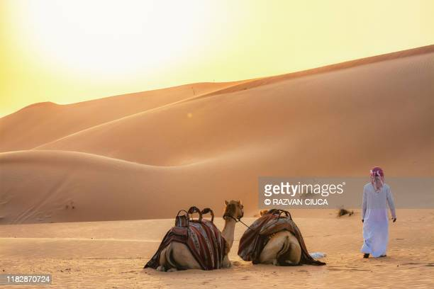 camels at sunset - abu dhabi stock-fotos und bilder
