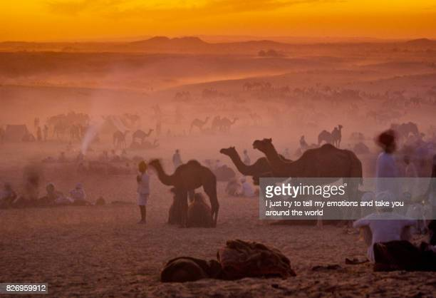 camels at the annual livestock fair - pushkar stock pictures, royalty-free photos & images
