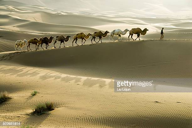 Camels Being Lead Through Desert in Xinjiang