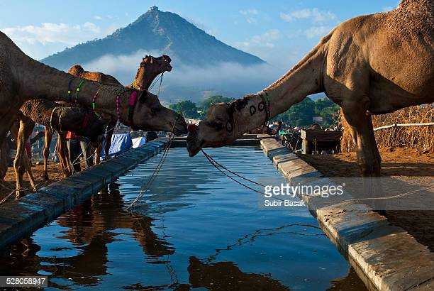 camels being watered at the pushkar camel fair - pushkar stock pictures, royalty-free photos & images