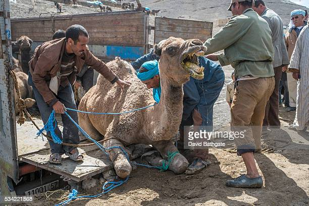 Camels bought and sold at the Imilchil livestock market are loaded on trucks for transport