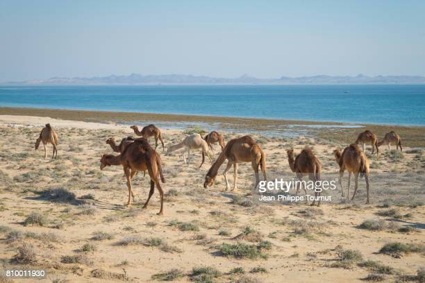 camels by the sea in qeshm island, persian gulf, hormozgan province, southern iran - persian gulf stock-fotos und bilder