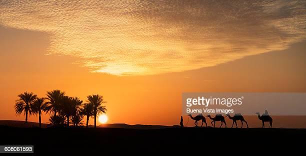 Camels caravan in desert at sunset