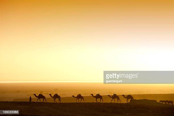 camels chasing the sunrise in an ethiopian desert  - camel train stock pictures, royalty-free photos & images