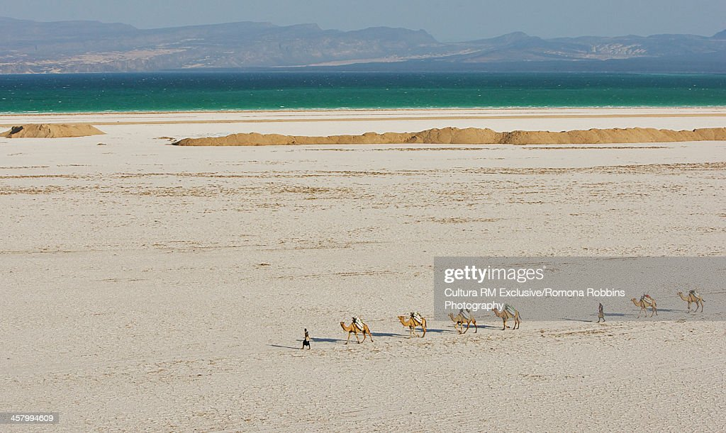 Camels crossing desert with Lake Assal, Djibouti, Africa : Stock Photo