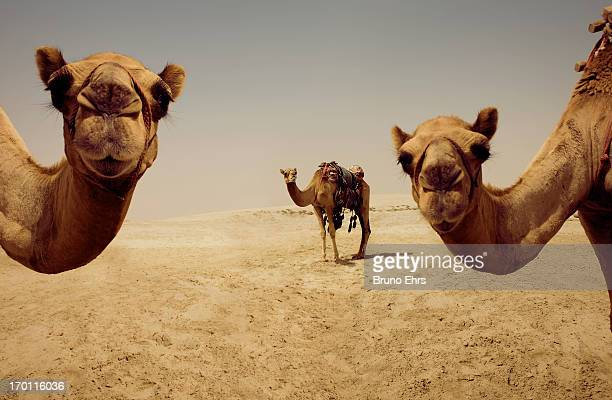 camels, doha, qatar - qatar stock pictures, royalty-free photos & images