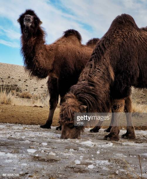 Camels drink water from the ice hole dug by a herdsman during the winter migration on November 28 2017 in Altay Xinjiang Uyghur Autonomous Region of...