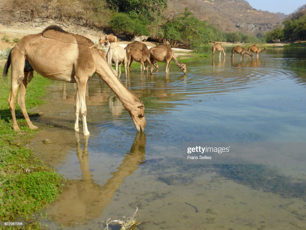 Camels drinking in Wadi Darbat river, Oman : Stock Photo