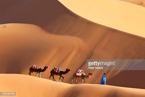 camels & dunes, erg chebbi, sahara desert, morocco - camel stock pictures, royalty-free photos & images