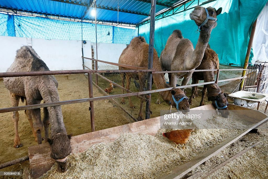 Camels eat food as camel milk is sold on the prize of 50 Turkish Liras per liter, at a production farm in Incirliova district of Aydin, Turkey on January 15, 2016.
