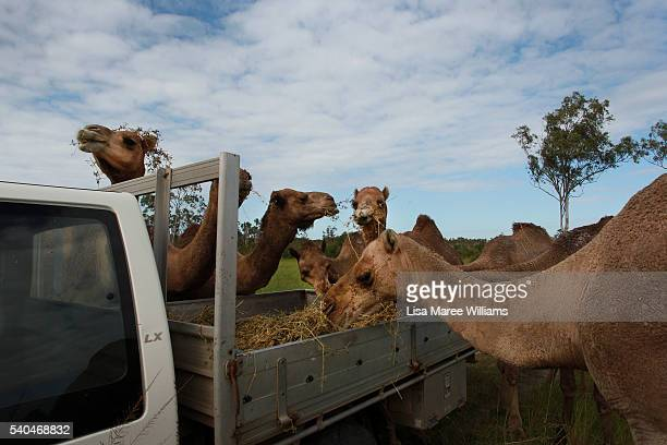 Camels eat from the tray of a ute at QCamel dairy on April 5 2016 on the Sunshine Coast Australia QCamel founded by Lauren Brisbane and her family in...