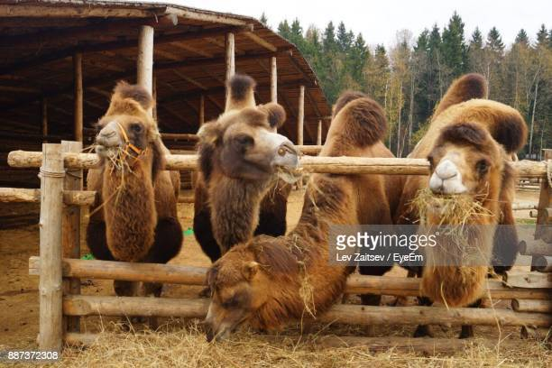 Camels Eating Grass On Field