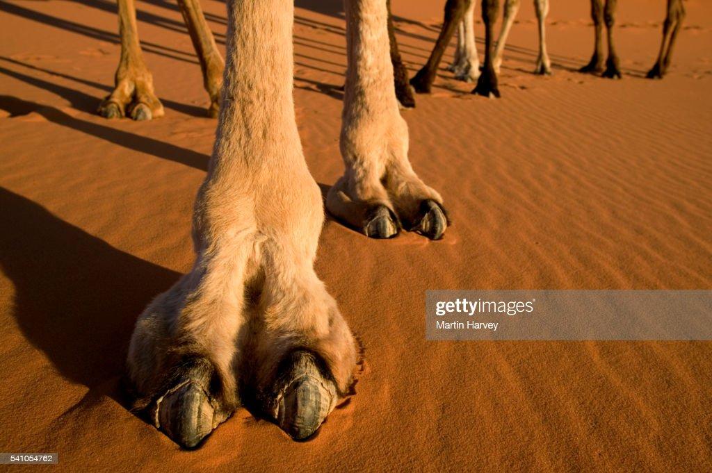 Pata de camelo no mercado cameltoe 155 - 1 5