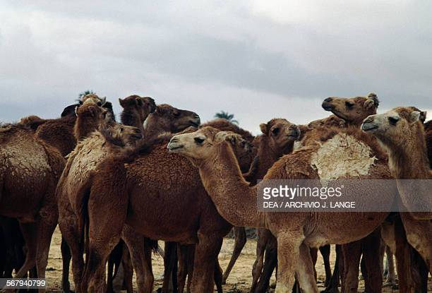 Camels Festival of the Sahara in Douz Tunisia