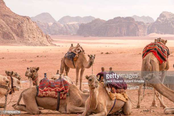 camels (linnaeus), from a camel safari relax in the desert - jordanian workforce stock pictures, royalty-free photos & images