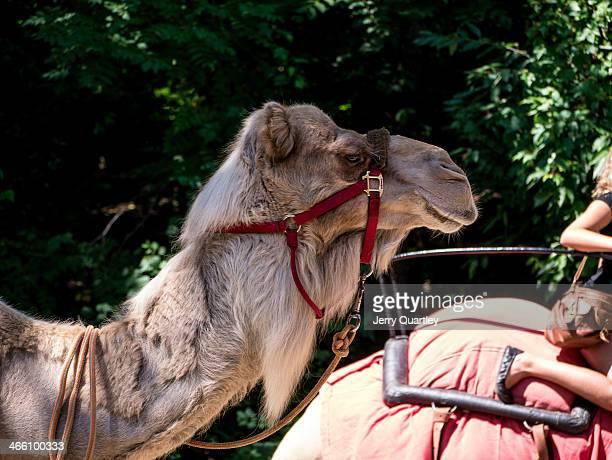Camel's head at the Bronx Zoo, NY