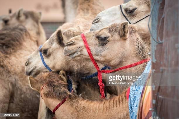 Camels huddling close