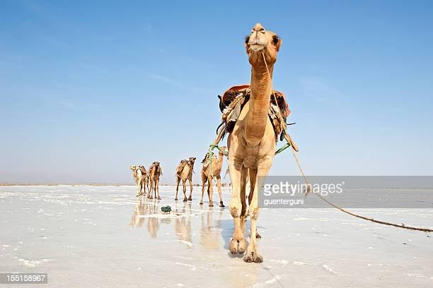 Chameaux dans un Grand caravan, sel Danakil désert, Éthiopie