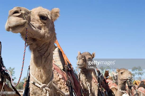 Kamele in einer Linie