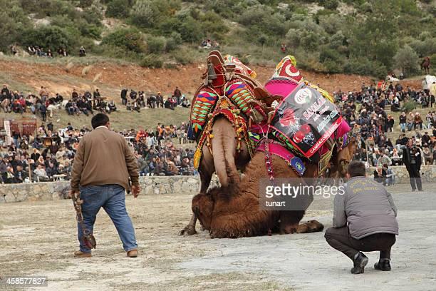 Camels in a traditional camel wrestling festival of Kusadasi, Turkey