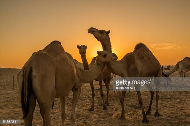 Camels in farm