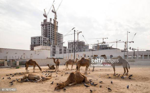 Camels in front of a construction site, Doha, Qatar
