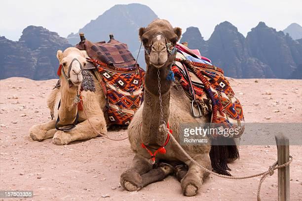 Camels in Jordanian Desert