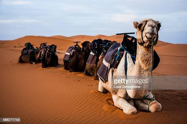 camels in moroccan desert - chameau photos et images de collection