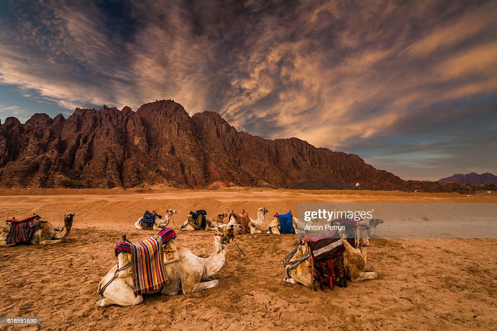 Camels In The Desert At Sunset Stock Photo | Getty Images