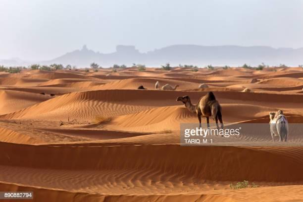 camels in the desert, saudi arabia - arabie saoudite photos et images de collection