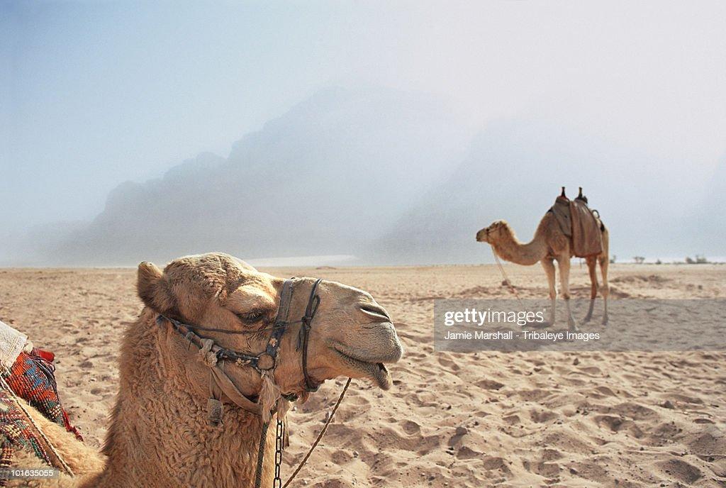 Camels in the desert, Wadi Rum, Jordan : Stock Photo