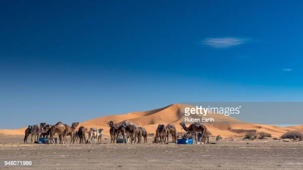 Camels in the desert with a big dune behind