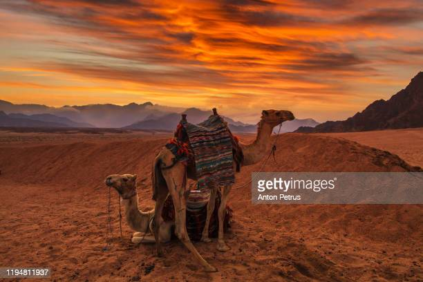 camels in the sinai desert at sunset. egypt - egypt stock pictures, royalty-free photos & images