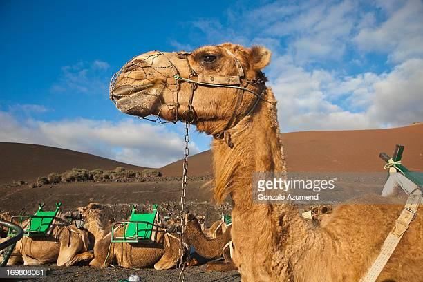 camels in timanfaya national park. - timanfaya national park stock pictures, royalty-free photos & images