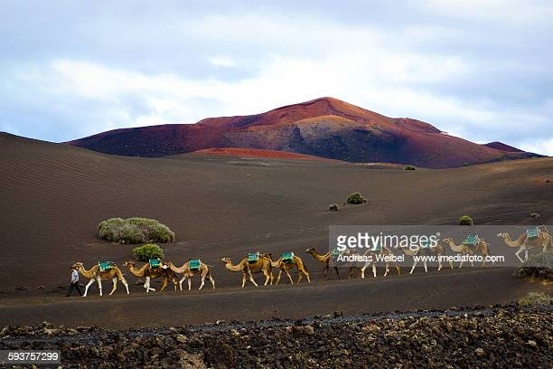 camels in timanfaya - lanzarote stock pictures, royalty-free photos & images